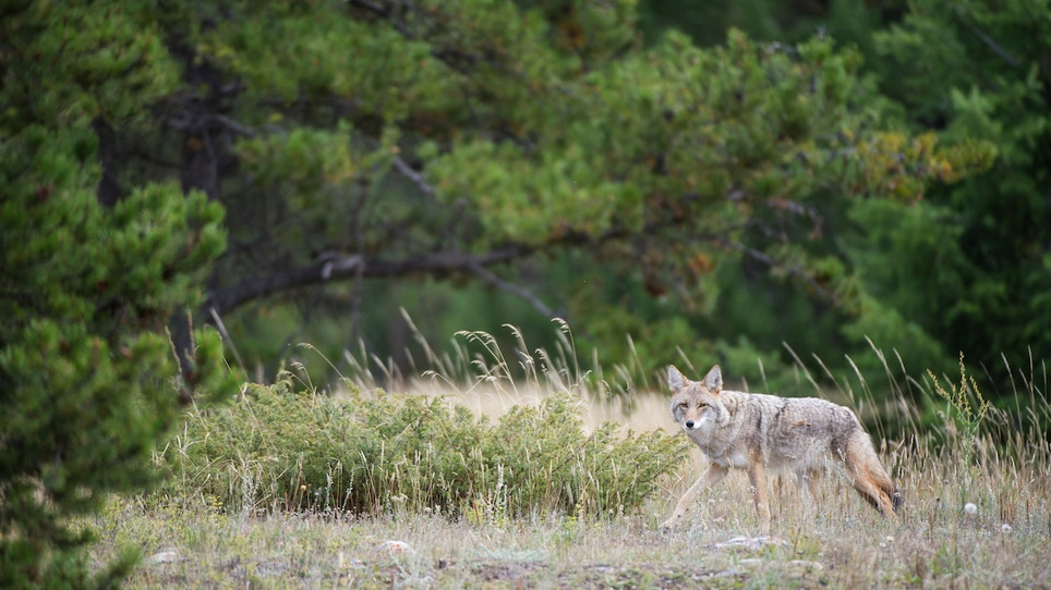 Tips for Predator Hunting in the Thick Stuff
