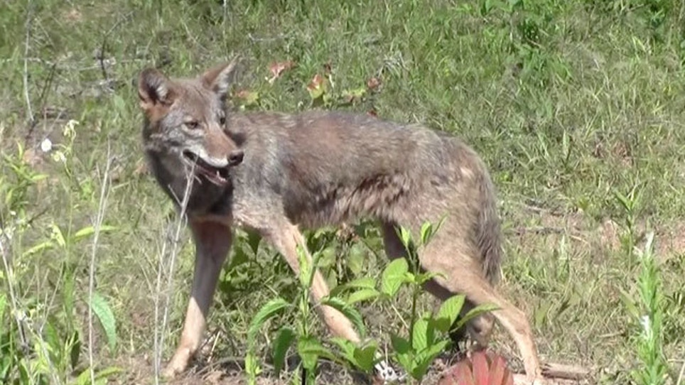 Cash for Coyotes: Do Bounties Work?