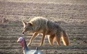 Top 3 tips for taking coyotes while hunting turkeys