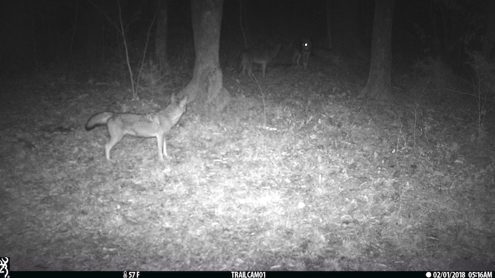 How game cameras can improve your predator hunting success