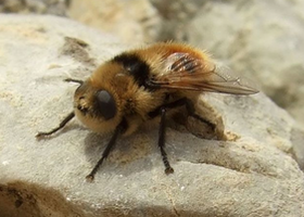 Deer Botfly, which lays eggs that hatch in a deer's nasal cavity where the larvae grow in the warm, moist conditions. (Photo: Wiki, Karsten Heinrich)