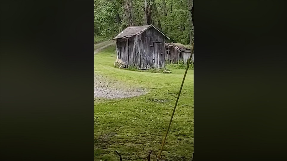 Whitetail Chases Fox Around a Barn — 10 Times!