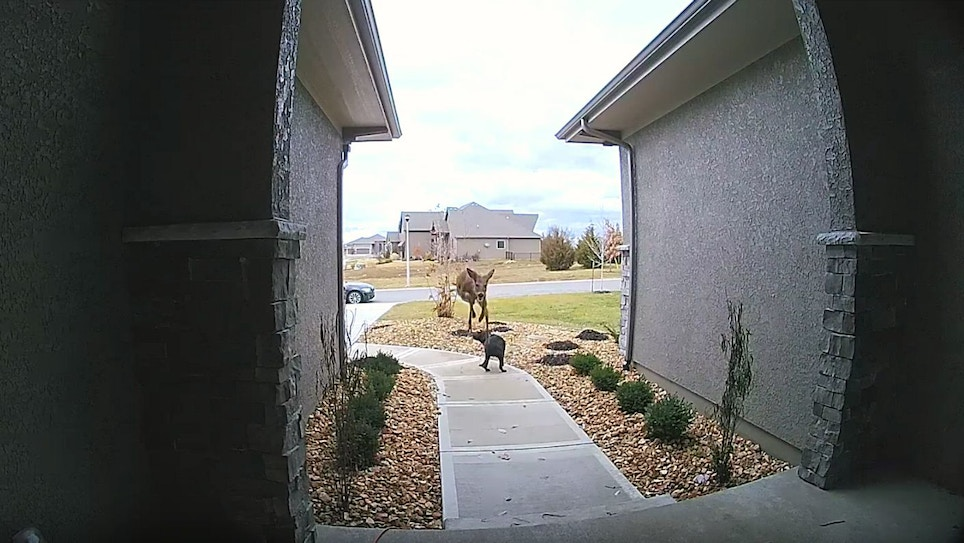 Video: Yearling Whitetail Jumps Over Family Dog