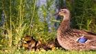 Kill a Critter — Save a Duck