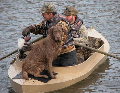 Chesapeake Bay retrievers can be outstanding duck and goose dogs. This one, owned by one of the author's hunting buddies, was named Delta, in honor of the great work done by the conservation organization Delta Waterfowl. One of his current gun dogs, Kody, is shown below.