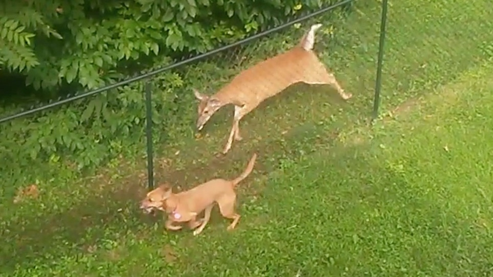 Video: Is This Deer Playing With a Dog?