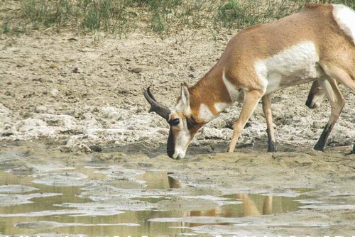 After a pronghorn arrives at water, give it time to settle in. When the animal puts its head down and begins tanking up, you'll have 20 to 30 seconds to execute your shot.