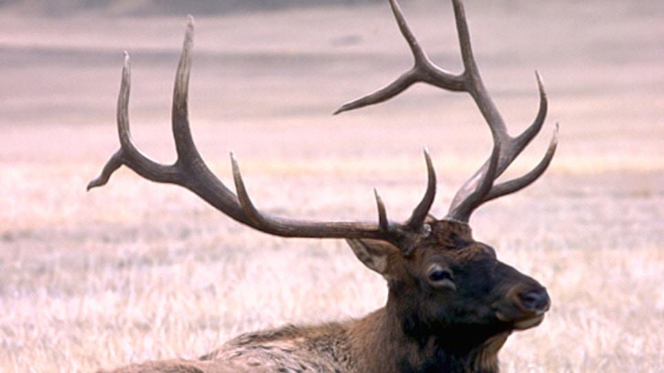 Public Shows Support For West Virgina Elk Restoration