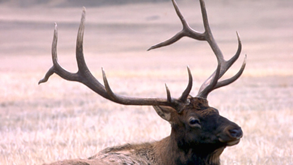 Yellowstone Elk Count Marred By Weather