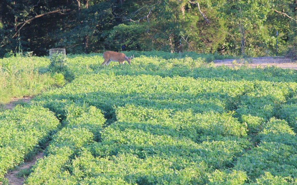 Soybean leaves are high in protein and whitetails love to eat them during summer antler-growing season. In this photo, a buck is devouring Eagle Seed Forage Soybeans. The plant growth inside the small utilization cage indicates how much deer have consumed in the highly desirable, high-protein food plot.