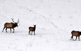 Decision Delayed On Montana Elk Season Proposal