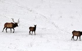Elk Poacher Sentenced To Probation