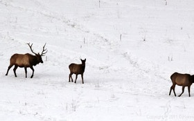 Elk Hunting Seasons Extended In Montana