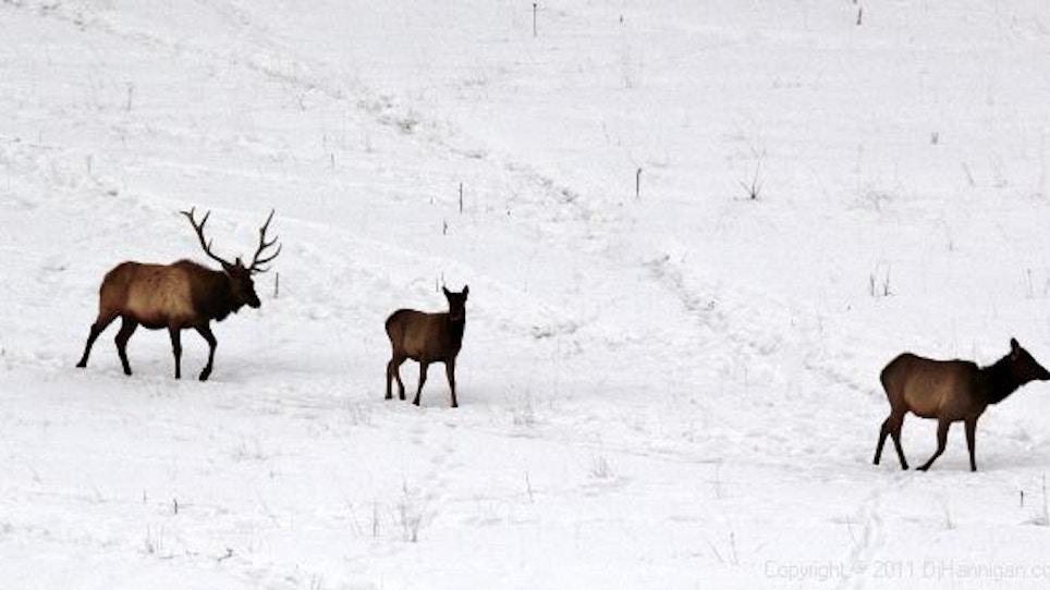Elk Hunting Seasons Extended In Montana