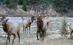 What Do Elk Eat?