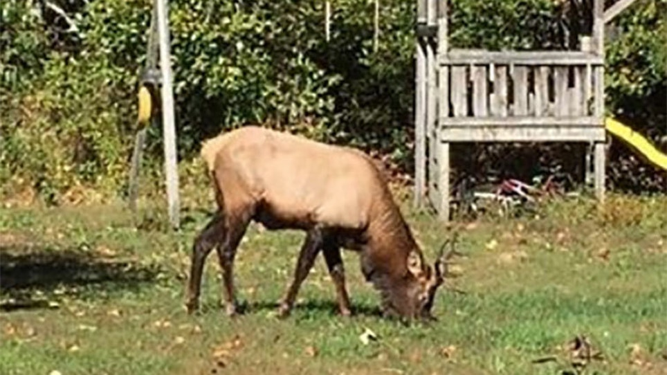Video: First Elk Sighting In South Carolina Since 1737
