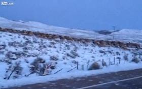 VIDEO: Huge elk herd crosses Wyoming road