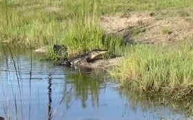 VIDEO: Hunting alligators on a Florida cattle ranch