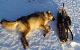 Canadian Hunter Shoots Coyote With Snare Around Its Neck