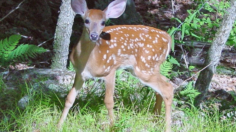 Could This Deer Fawn Survive Without Its Mother?