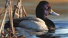 Delaware Artist Wins Federal Duck Stamp Art Contest
