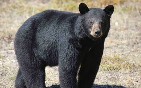 5 Savvy Tips for Tagging Spring Black Bears