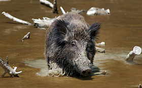 Hogs Invaded a Quiet Nature Preserve, and Then They Started Dying