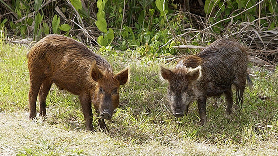 Can We Win the War on Feral Pigs in the United States?