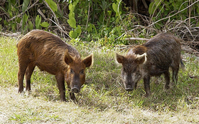 Just How Many Feral Pigs Has This State Killed This Year?