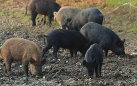 17 Facts About Feral Hogs