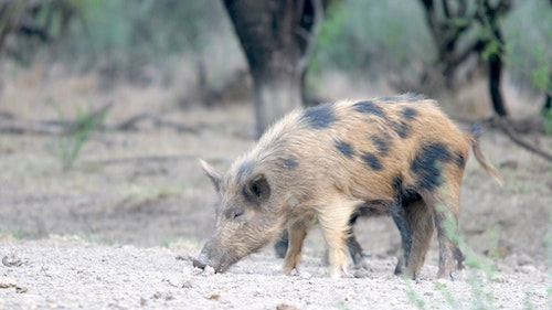Feral hogs are slowly expanding their range north despite efforts by state wildlife agencies to prevent the spread. (Photo: Mark Kayser)