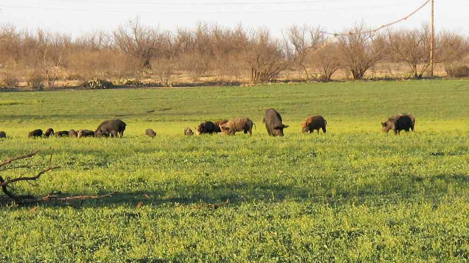 Did This State Really Eradicate All Feral Pigs?