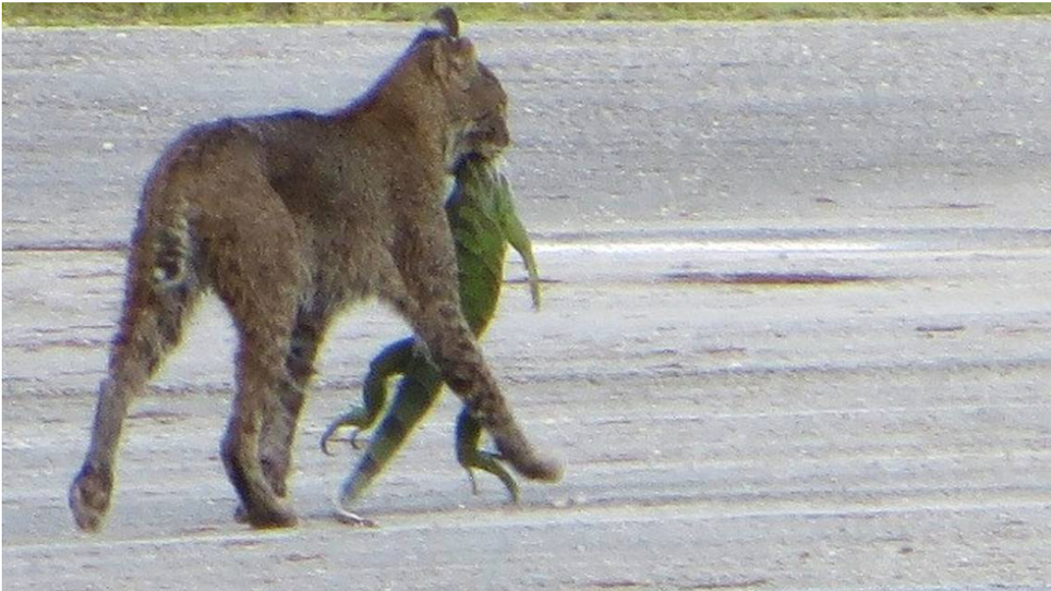 No Big Deal, Just a Hungry Bobcat With an Invasive Iguana
