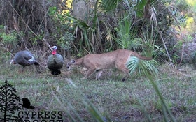 Video: Florida Panther Stalks Turkey Decoys