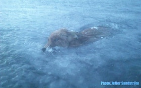 Fox discovered frozen in lake
