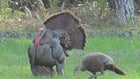 Game Warden Chronicles: 4 Charged With Killing Nearly 100 Turkeys