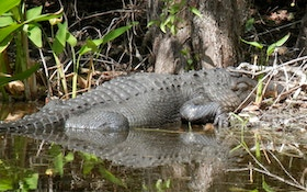 Mississippi Alligator Hunting Permits Sell Out Fast