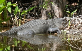 Alligator Poaching On The Rise