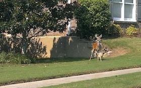 North Carolina Deer Harvest Significantly Down