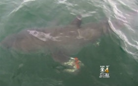 6-Year-Old Hooks Great White Shark