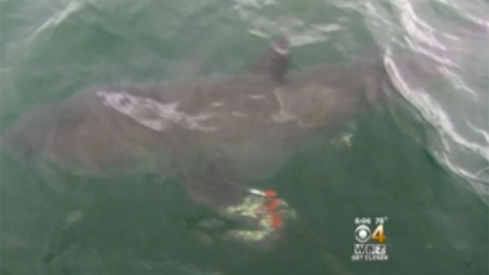 6-Year-Old Hooks Great White Shark