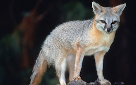 Canine Distemper Discovered in California Wild Foxes
