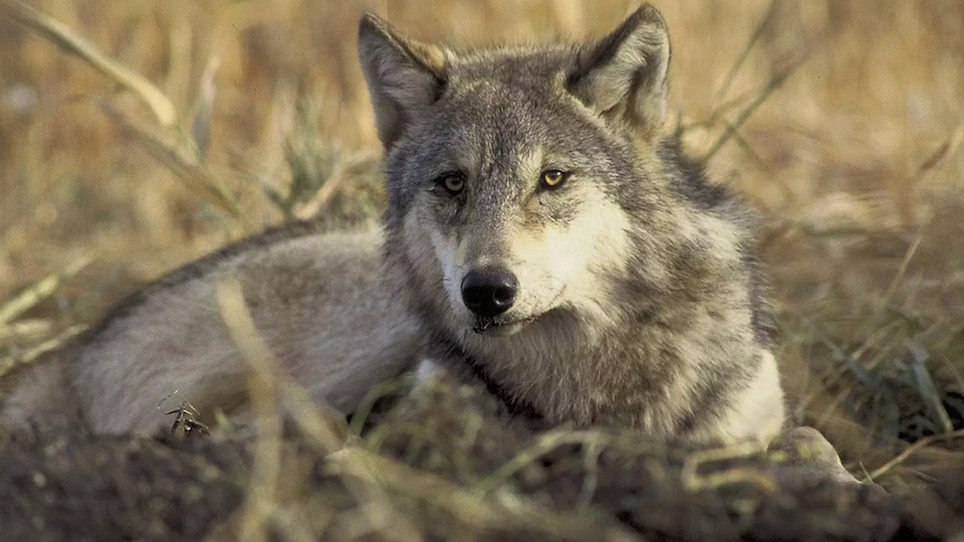 Feds' Plan to Delist Wolves Stirs Mixed Reactions