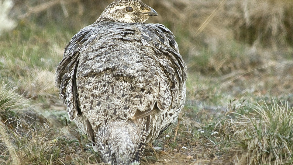 Idaho Governor Sues Feds Over Sage Grouse Restrictions
