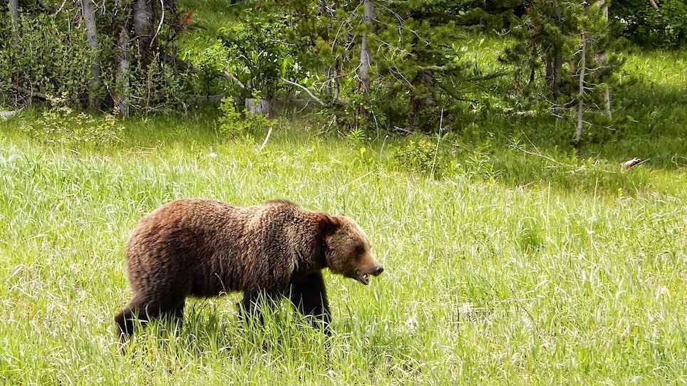 Are You Ready to Hunt Grizzly Bears?