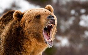 Brown Bear Mauls College Professor During Class