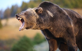 Grizzly Bear Attacks Fourth Hunter in Montana