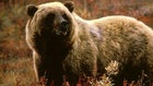 Grizzly Bear Attacks Man; Sightings, Incidents Increase