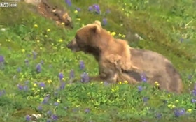 VIDEO: Grizzly runs uphill, suffers heart attack, rolls back