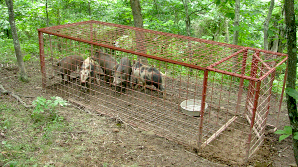 Bluegrass Landowners Asked to Help Locate Feral Pigs
